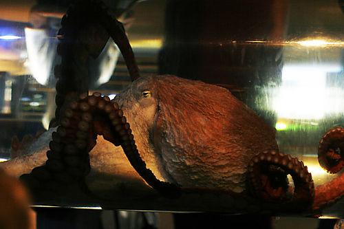 Octopus at the Seattle Aquarium